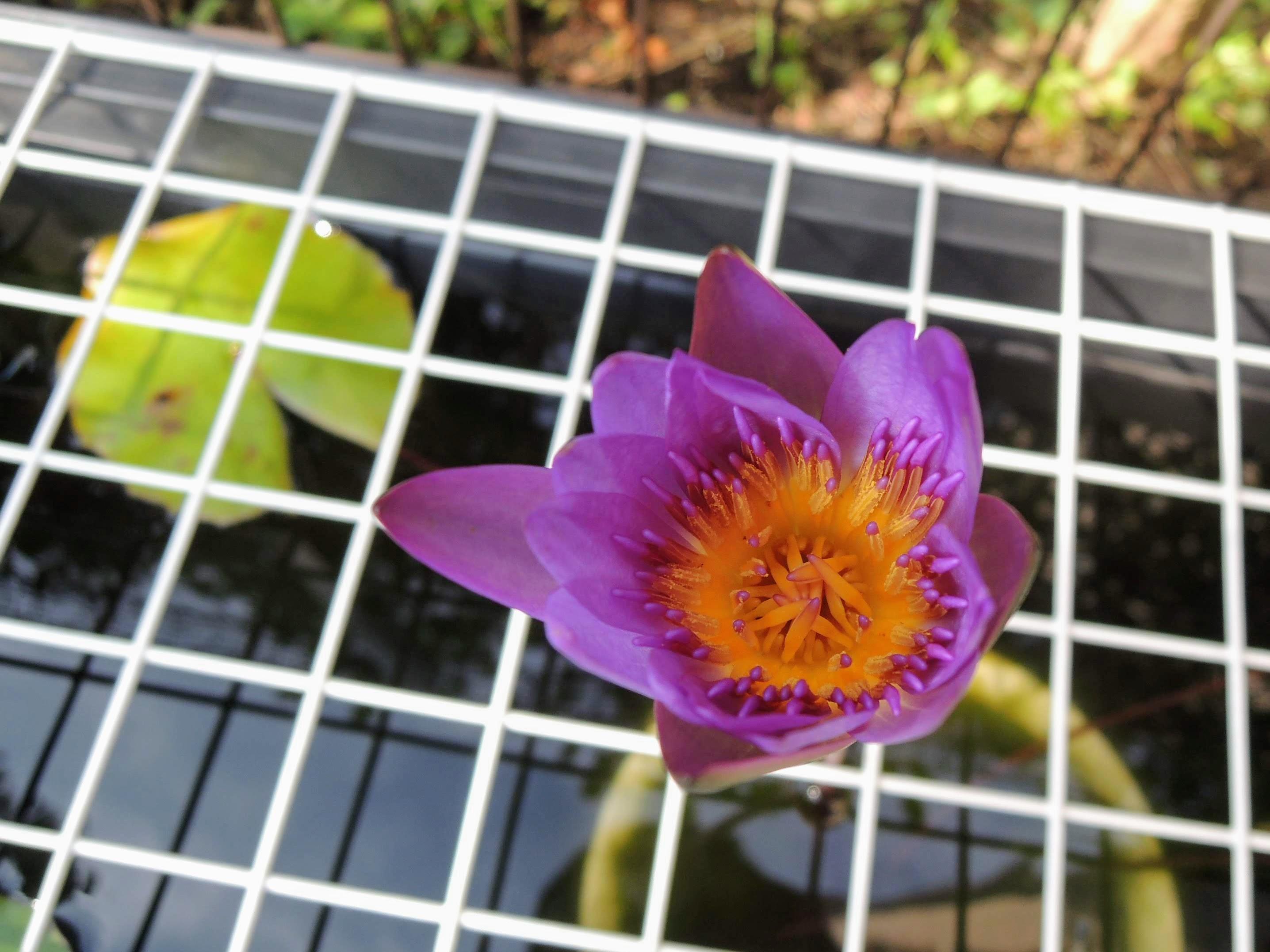 丈を長く伸ばした温帯スイレンの花