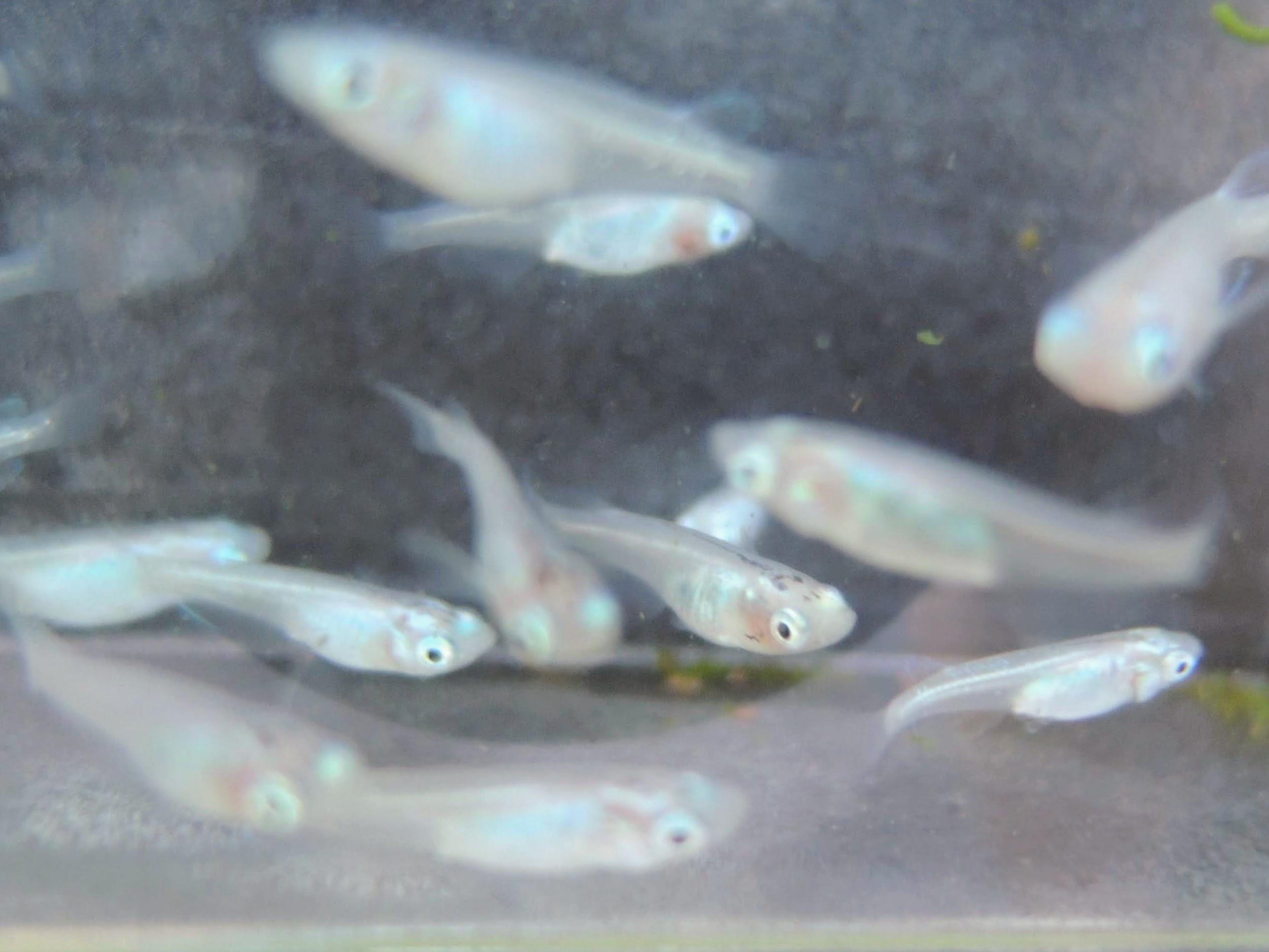 彩光×百式幹之の稚魚-3
