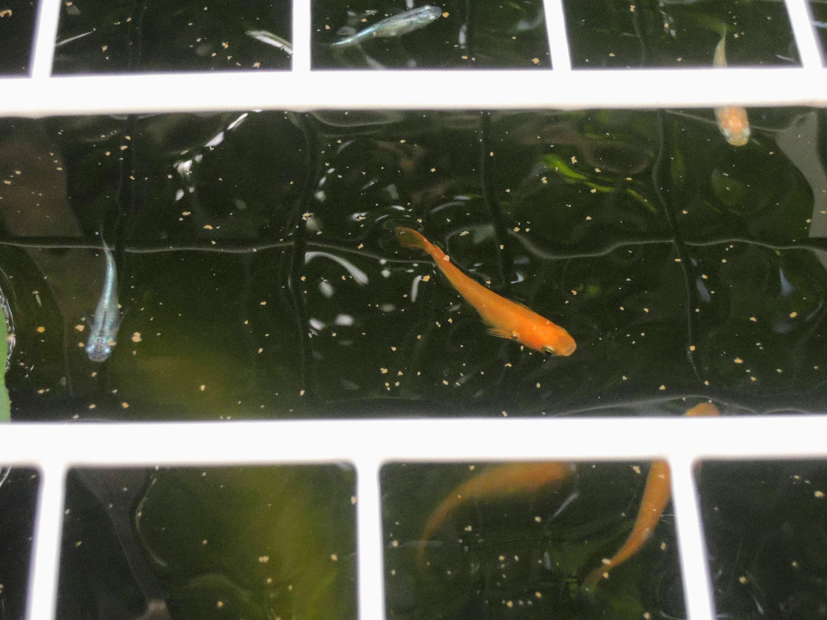 キングタライの中を泳ぐ楊貴妃メダカ