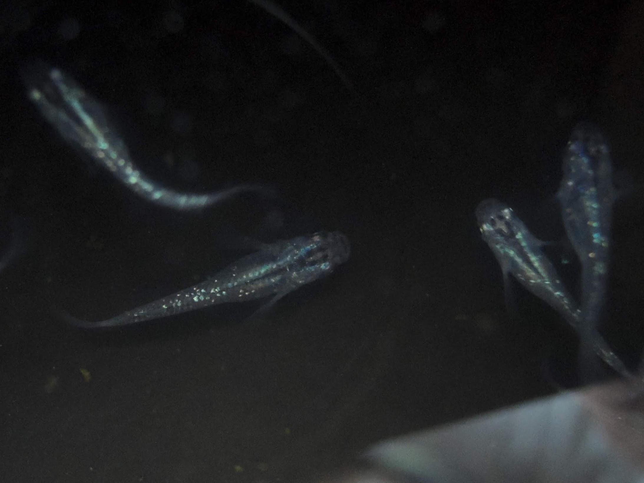 黒ラメレインボーのF1稚魚-1