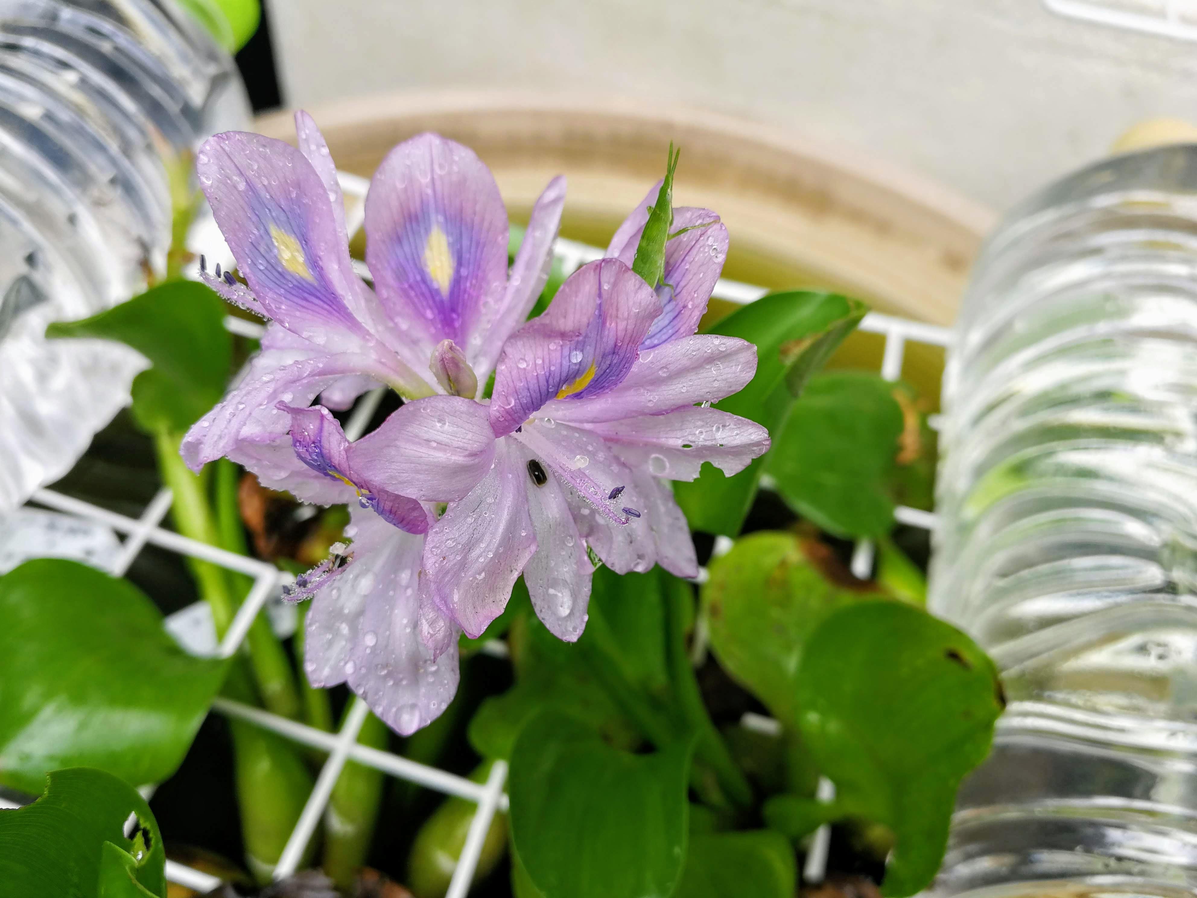 薄紫の花を咲かせたホテイアオイ