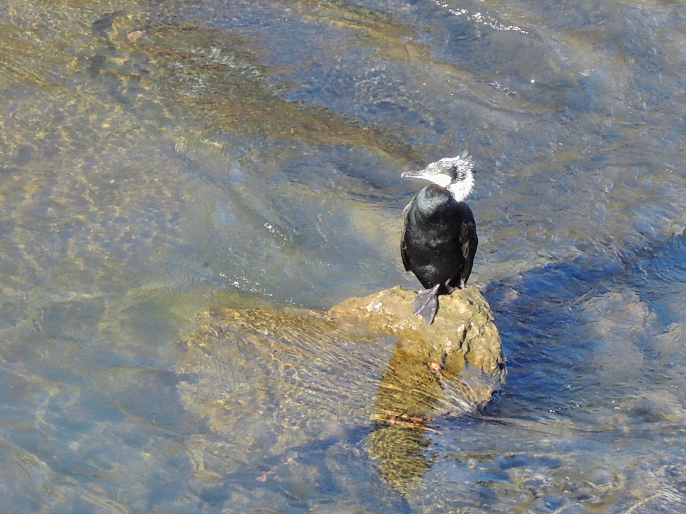 鶴見川に佇む河鵜