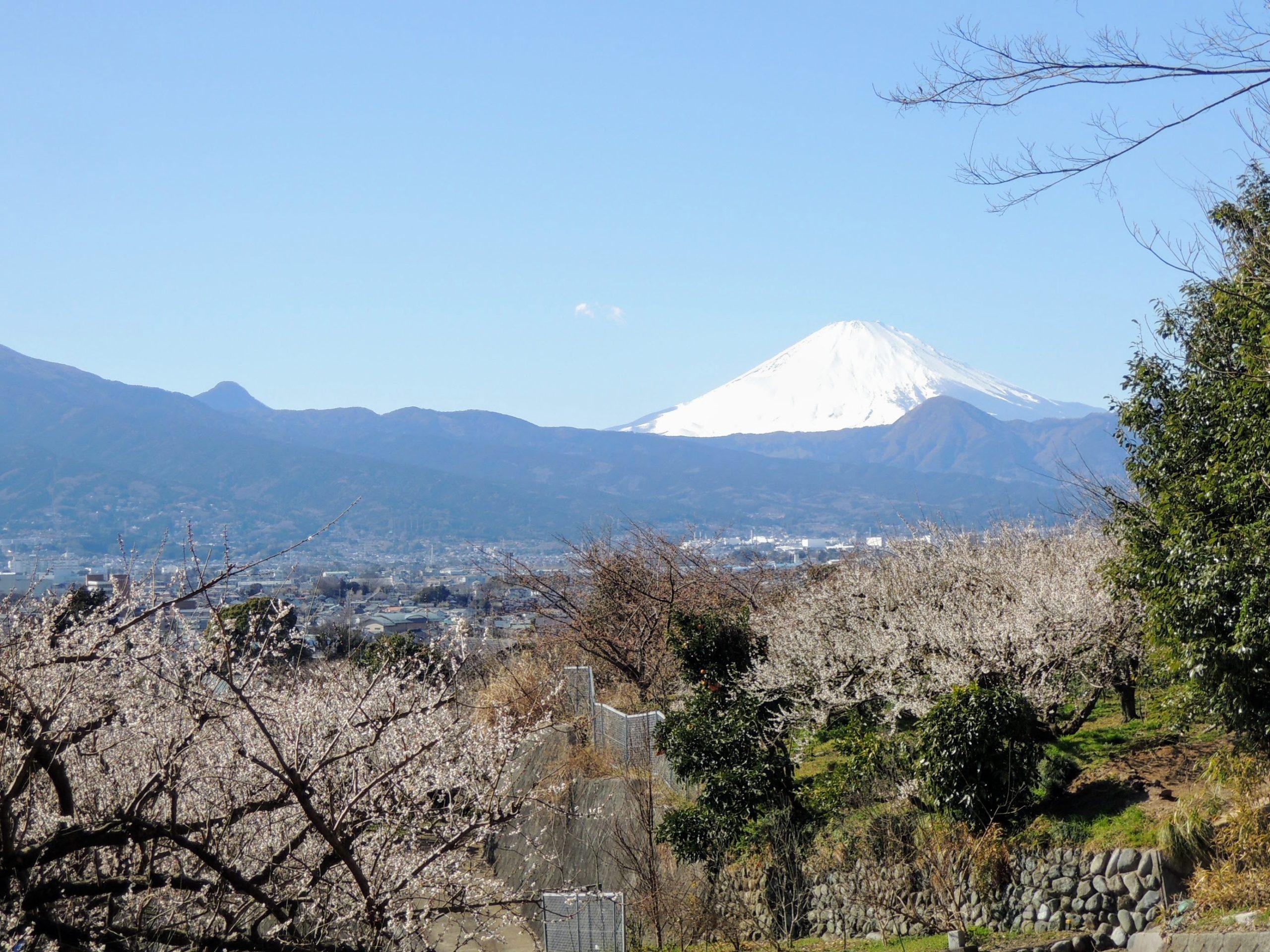 やまゆりライン、梅林から眺める富士山