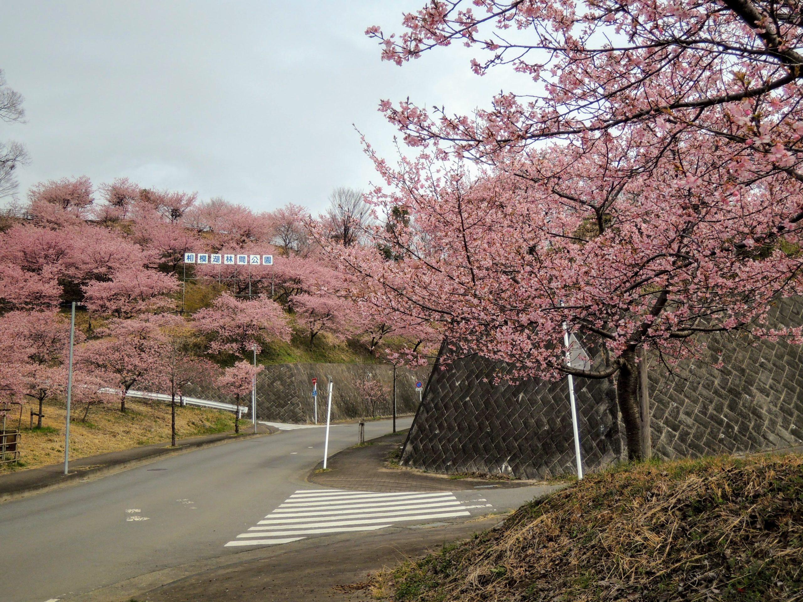 咲き乱れる相模湖林間公園の河津桜