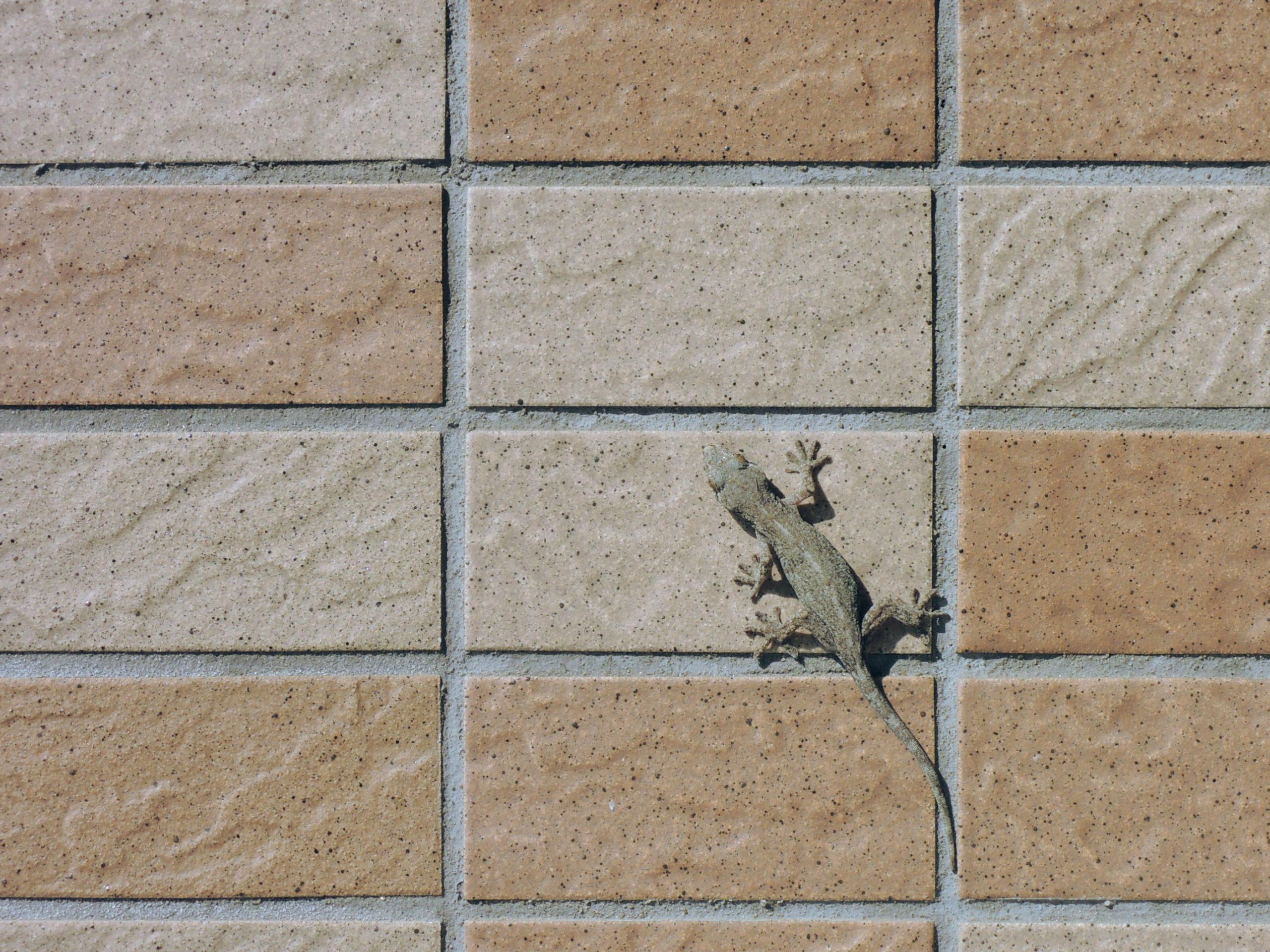 壁にヤモリ-1