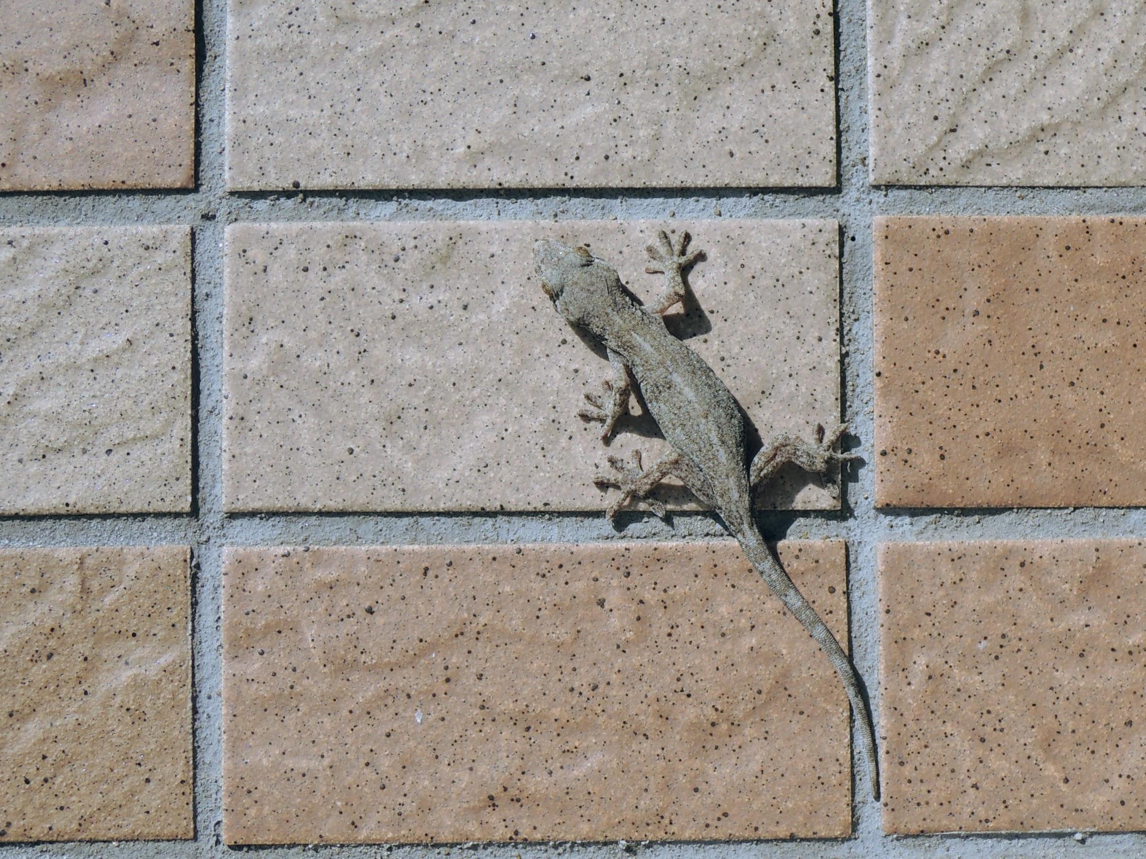 壁にヤモリ-2
