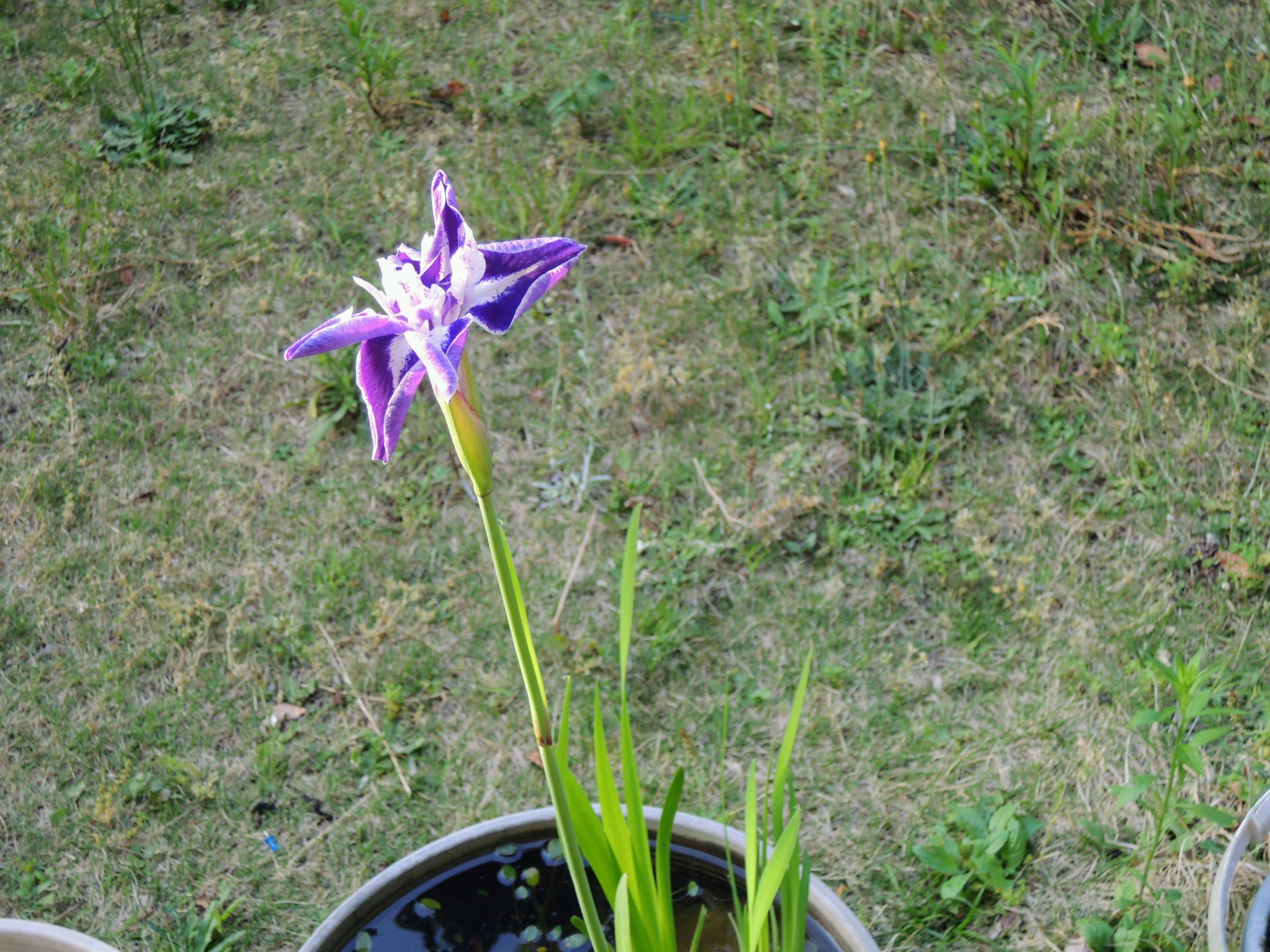 咲き始めたカキツバタ-1