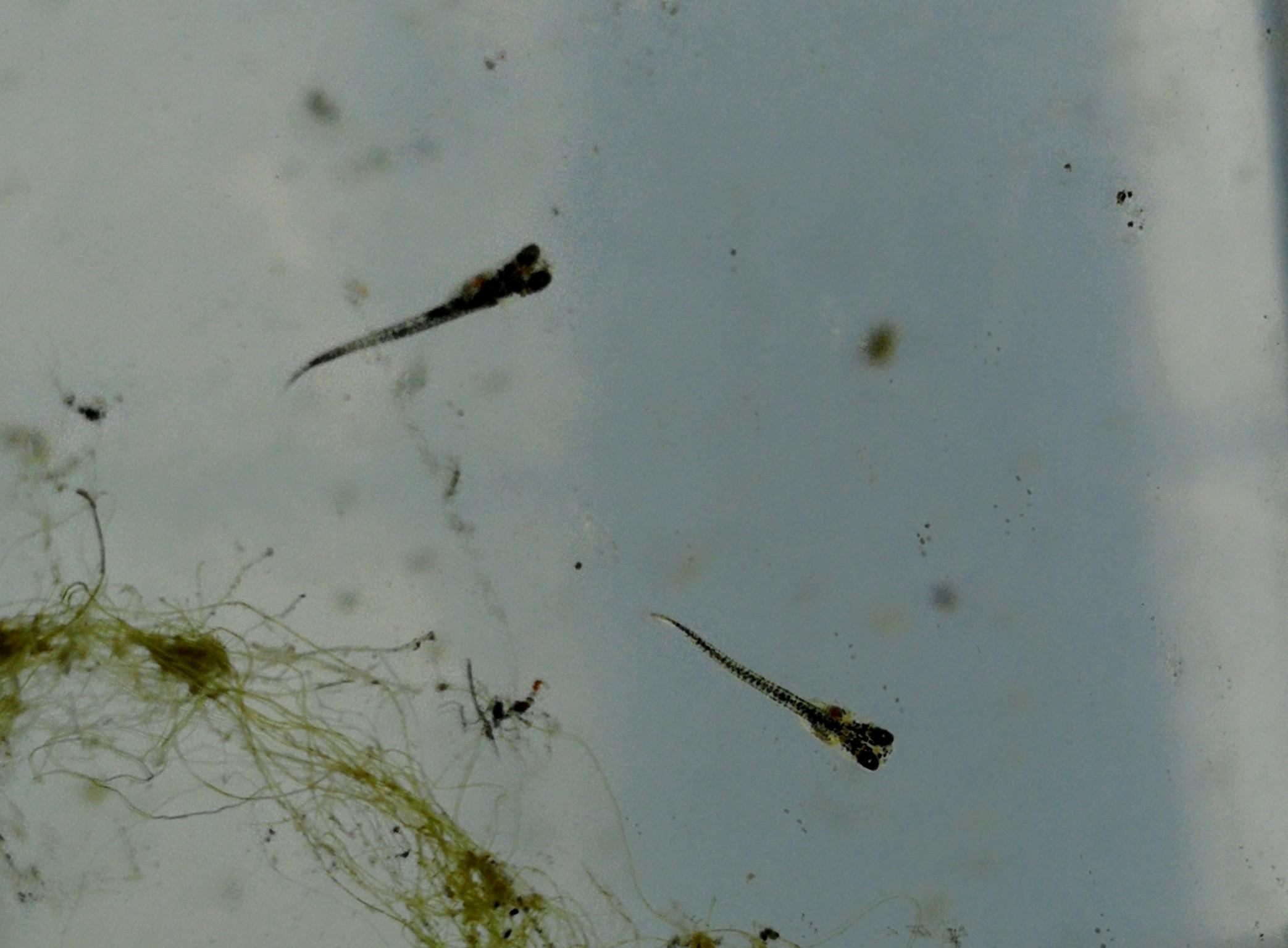 孵化したばかりの黒メダカの針子