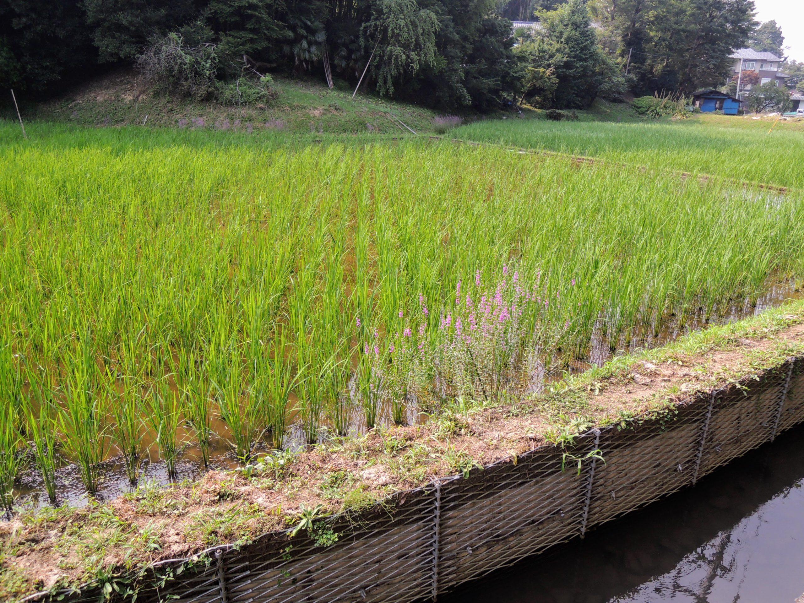 青々とした稲が育つ水田